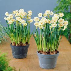 Narcissus tazetta Bridal Crown - 10 flower bulbs buy online order now