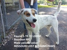 #Founddog 5-19-15 LOOSE #Bourbon #MO Male yellow collar MISSOURI LOST & FOUND PAWS https://www.facebook.com/missourilostfoundpaws/photos/a.231842987002263.1073741858.176432345876661/371287433057817/?type=1