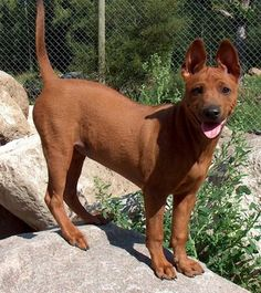 thai ridgeback. Who wants to get me one?