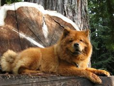 The Chow is a unique breed of #dog thought to be one of the oldest recognizable breeds. Research indicates it is one of the first primitive breeds to evolve from the wolf.  #chowchowdogs
