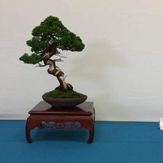 Haru 2016.  Foto del Facebook de Bonsai Club Sant Vicenç.  #Bonsai #BonsaiTree #盆栽 #BonsaiLife #Бонсай #BonsaiExhibition #BonsaiWork #盆景 #Penjing #Bonsaï by bonsaimente