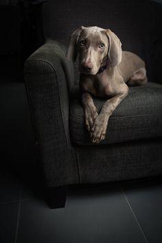 Jessie by Julien Lepeut on Best Dog Photos, World Best Photos, Weimaraner, Dog Photography, Four Legged, Jessie, Animals Beautiful, Best Dogs, Fur Babies
