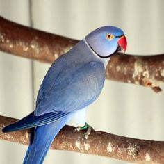 Indian Ringneck Parakeet - violet mutation.  Amazing color variations in these guys.