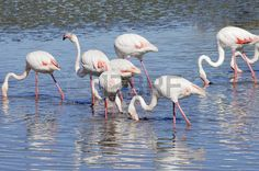 flamingos flock in lagoon of camargue