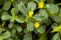 If You Have a Pet, Get Rid Of These Plants Immediately! - The Lost Herbs Herb Garden, Vegetable Garden, Herbs For Sleep, Portulaca Oleracea, Oxalic Acid, Sago Palm, Organic Soil, Contact Dermatitis, Ficus Elastica