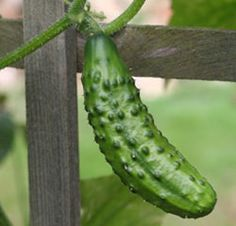 Good tips on growing cucumbers. They will grow up anything. Do better off the ground.