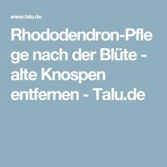 Rhododendron-Pflege nach der Blüte - alte Knospen entfernen - Talu.de