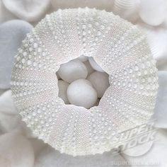 White sea urchin.  superstock.com White Sea, All White, Pure White, White Light, White Angel, White Books, White Clouds, White Texture, White Aesthetic