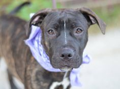 TO BE DESTROYED - 09/25/14 Brooklyn Center -P **PUPPY ALERT **  My name is LOLA. My Animal ID # is A1014226. I am a female br brindle and white pit bull mix. The shelter thinks I am about 6 MONTHS old.  I came in the shelter as a STRAY on 09/15/2014 from NY 11106, owner surrender reason stated was STRAY. I came in with Group/Litter #K14-194409.