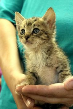 Meet Apache, a Petfinder adoptable Domestic Short Hair Cat | Enterprise, AL | Apache is a male grey tabby kittenBehavior and personalities are based on what we see here at the...