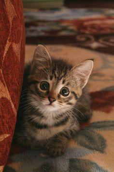 cute kitten ぴこんっ