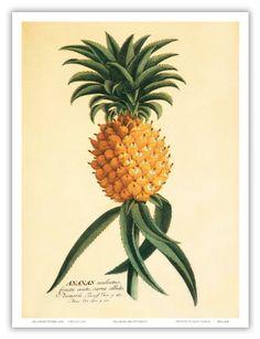 Hawaiian Pineapple (Ananas aculeatus) - From Christopher Jacob Trew's 18th Century Plantae Selectae - Vintage Botanical Illustration by Georg Dionysius Ehret c.1742