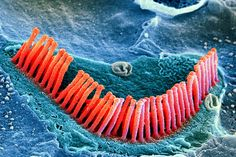 """The science behind hearing loss The cochlea in our inner ear contains 15,000 tiny, hair-like structures called """"stereocilia"""", or hair cells. There are two types: auditory and vestibular, responsible for hearing and balance respectively. Auditory hair cells function by bending in response to sound, and their movements are transmitted as electrical signals to the brain, which interprets them as sound. When these hair cells are damaged or killed, it can cause permanent hearing loss—and although…"""