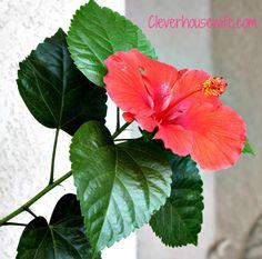 Hibiscus Flower Photos