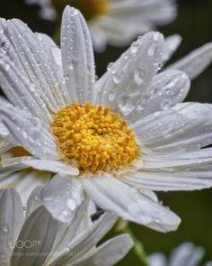 Margeriten im Regen -