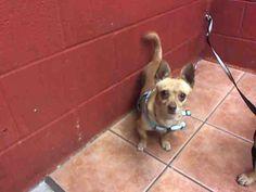 Chihuahua dog for Adoption in Downey, CA. ADN-753722 on PuppyFinder.com Gender: Female. Age: Adult