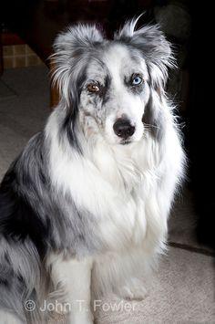 Border Collie Dog Blue Merle
