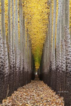 ✯ Walking Towards The Light....Tree Farm near Boardman, Oregon.  We call these the toilet paper trees.  So cool.