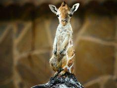 Meeraffe - hybrid animal