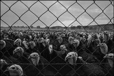 Nikos Economopoulos - GREECE. 1988. Macedonia. Turkey farm.