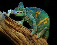Veiled chameleon | Veiled chameleon