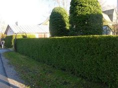 Thuja occidentalis Brabant 80-100 Pa/Kl