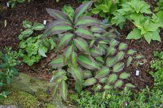 Polygonatum amabile 'Green striped'