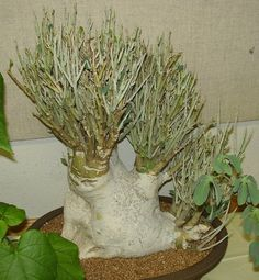 Adenia pechuelii is a very rare south east African caudex forming succulent