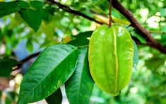 For information see, how to grow a star fruit tree in a container How to grow a star fruit tree from Seed, growing star fruit, and more about it. Growing Seeds, Growing Tree, Growing Flowers, Fruit Plants, Fruit Garden, Anthurium Care, Home Grown Vegetables, Asian Vegetables, Star Apple