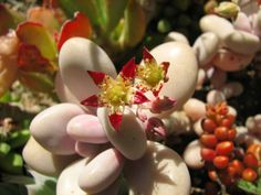 Graptopetalum amethystinum (Lavender Pebbles) is a rare succulent that looks more like moon rocks than a plant. It has plump, rounded. Succulents For Sale, Growing Succulents, Cacti And Succulents, Planting Succulents, Identifying Succulents, Weird Plants, Unusual Plants, Rare Plants, Succulent Bonsai
