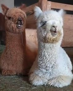 Alpacas chew like Carlton dances - All about the Animals and pets is here Cute Little Animals, Cute Funny Animals, Cute Cats, Adorable Baby Animals, Big Cats, Cute Animal Videos, Funny Animal Pictures, Cute Creatures, Animal Memes