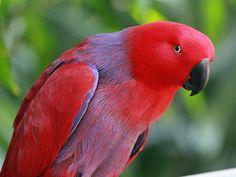 Eclectus Parrots As Pets - Cockatiels As Pets