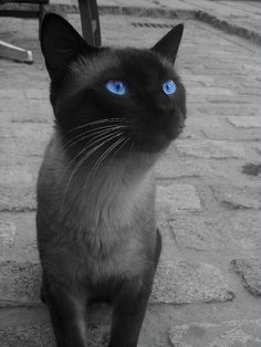 Beautiful Siamese Cat in Andalucia, Spain. -After owning two Siamese cats I've become convinced that they're the only type of cat ill ever own again.