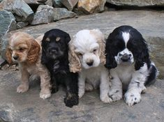 Delicious as a box of assorted candies. I'll take one of each. Cocker Spaniel Puppies