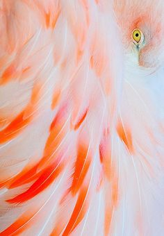 Flamingo feather magic: understanding the language of colour, ability to… Deco Nature, Just Peachy, Tier Fotos, Pink Flamingos, Flamingo Color, Flamingo Beach, Bird Feathers, Beautiful Birds, My Favorite Color