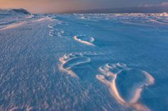 Huge footprints reveal a polar bear's path on Svalbard. Fur grows even on the bottom of a bear's paws, protecting against cold and providing a good grip on ice.