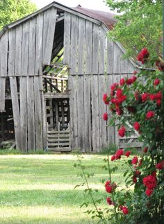 Country Summer in The South + Wild Red Roses and Rustic Shabby Tobacco Barn.