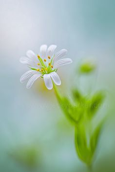 Photo Greater Stitchwort by Jacky Parker on Happy Flowers, White Flowers, Beautiful Flowers, Photo Bokeh, Belle Plante, Macro Flower, Bloom Blossom, Floral Photography, Flower Photos