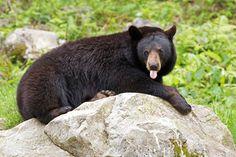 Photograph Pthththt!!! - Black Bear by Jim Cumming on 500px