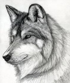 how to draw a wolf head, mexican wolf step 15