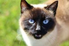 Do Siamese Cats Get Attached To Only One Person? Siamese cats are very affectionate but do they love all family members the same? Read this article to learn more! Siamese Kittens, Cats And Kittens, Baby Kittens, Kitty Cats, Anti Chat, I Love Cats, Cute Cats, Animal Cognition, Tonkinese Cat