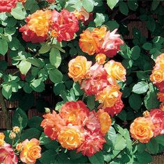 Rosa 'Piñata'  Beautiful.  Just absolutely beautiful.  This rose would look perfect on my fence.