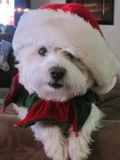 Santa Westie is adorable!! Thanks Joanie for posting finding the cutest Weste pix!