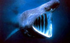 . Whale sharks are the world's largest fish. One of the most notable facts about whale sharks is that they are the world's largest fish. At a maximum length of about 65 feet and weight of 75,000 pounds, a whale shark's size rivals that of large whales