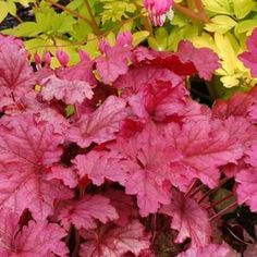 Berry Smoothie Coral Bells | Buy online at Nature Hills Nursery