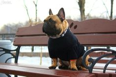 Frenchie in a sweater