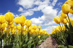 yellow tulips - Springtime in the Netherlands