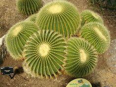 Echinocactus grusonni. I may have golden barrel 15degrees