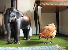 house chicken on carpet