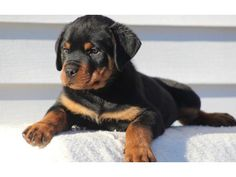 FDhfhgfge German Rottweiler Puppies available